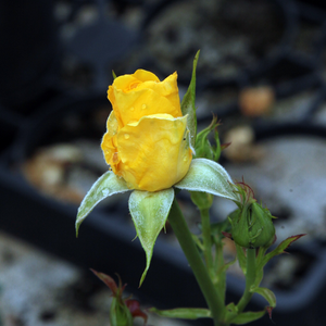 Goldbeet - giallo - Rose Floribunde
