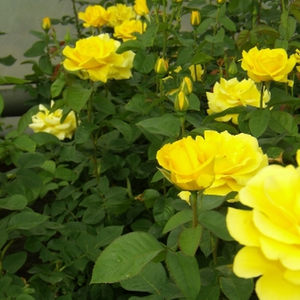 Giallo scuro - Rose Floribunde