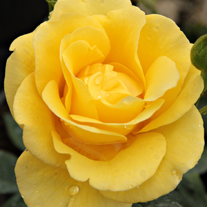 Rose Shop Online - bed and borders rose - floribunda - yellow - Goldbeet - no fragrance - Werner Noack - Cluster-flowered, warm colours, different blooming depends on the stages