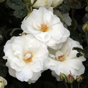 Clear white - park rose