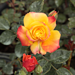 Rumba ® - red-yellow - bed and borders rose - floribunda