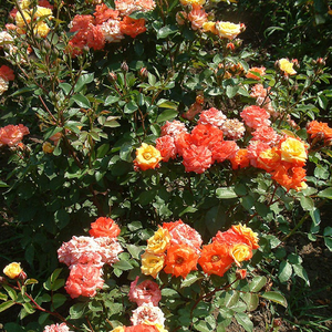 Lively red-yellow - bed and borders rose - floribunda