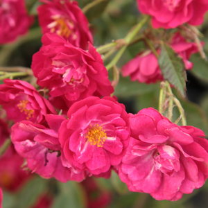 Roses Online Delivery - ground cover rose - pink - Ännchen Müller - discrete fragrance - Johann Christoph Schmidt - Clustered, numerous lasting blooming, perfect for covering big areas.