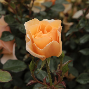 Pimprenelle - yellow - ground cover rose