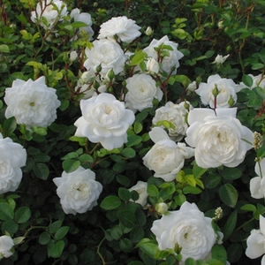 Snow white - ground cover rose