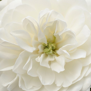 Roses Online Delivery - ground cover rose - white - Alba Meillandina - no fragrance - Marie-Louise (Louisette) Meilland - Perfect for decorate edges, covering big areas with beautiful, sweet, lasting flowers