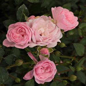 Rosa The Fairy Bodendecker Rosen Rosa Duftlos Rosen Kaufen