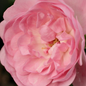 Rose Shopping Online - Pink - ground cover rose - no fragrance - The Fairy - Bentall, Ann - Beloved, perfect for covering big areas such as public areas with small, cluster flowers.