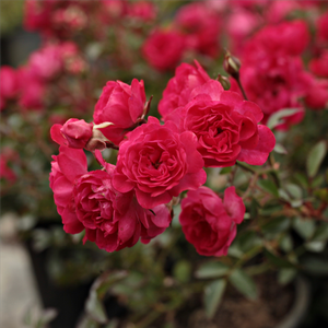 Fairy Rouge - red - ground cover rose