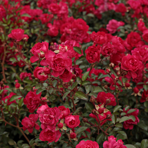 Red - ground cover rose