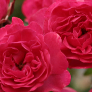 Buy Roses Online - Red - ground cover rose - discrete fragrance - Fairy Rouge - Ralph S. Moore - Sagging, lasting warm coloured flowers, perfect for decorating and covering big areas