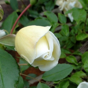 Albéric Barbier - white - rambler, rose