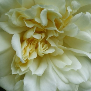 Buy Roses Online - White - rambler, rose - moderately intensive fragrance - Albéric Barbier - Barbier Frères & Compagnie - It resists a north-facing wall, weak penumbra and nutrient deficiencies soil.