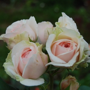 Auslight - rosa - Rose Inglesi