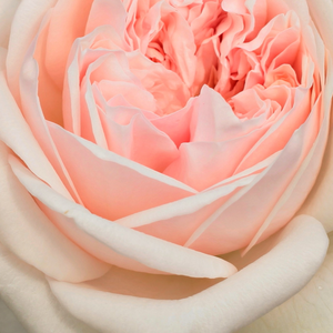 Buy Roses Online - Pink - english rose - intensive fragrance - Auslight - David Austin - Its pale pink flowers have a pleasant appearance with other high-coloured plants.