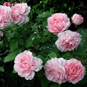 Rose - rosiers anglais