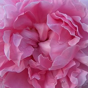 Rose Shop Online - english rose - pink - Ausglisten - discrete fragrance - David Austin - Elegant, warm rose petals provide a pleasant look by combining other warm colorured flowers.