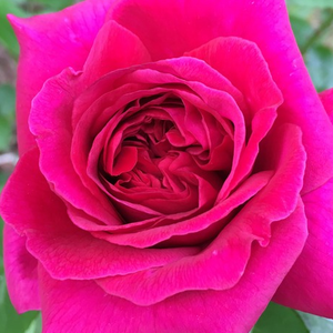 Rose Shopping Online - Red - english rose - discrete fragrance - The Dark Lady - David Austin - It is a variety with dark red colored, loose petals and slightly fragrant blossom.