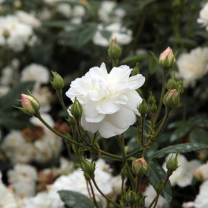 Ausram - white - english rose