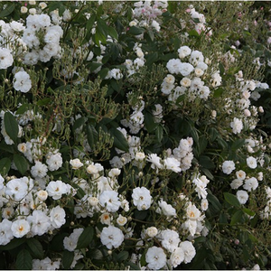 White or white mixture - english rose