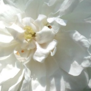 Rose Shopping Online - White - english rose - discrete fragrance - Ausram - David Austin - Its tiny, white, full flowers completely cover the bush.