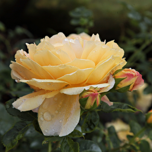 Ausgold - yellow - english rose