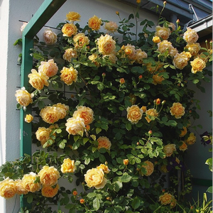 Deep yellow - english rose