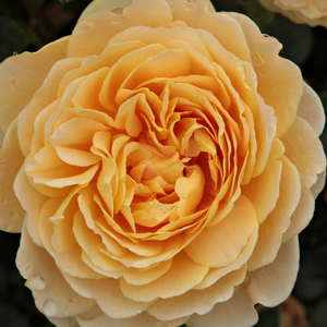 Buy Roses Online - Yellow - english rose - intensive fragrance - Ausgold - David Austin - It is a magnificent English rose with sweet smell and deep yellow colour.