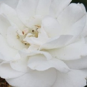 Height: 2-2,3 ft - Number of petals: 17-25