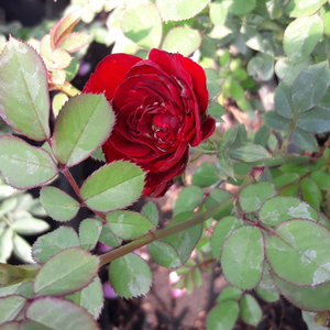 Red - miniature rose