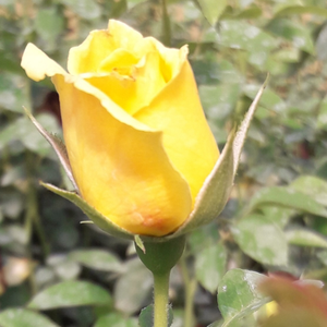 Skóciai Szent Margit - yellow - park rose