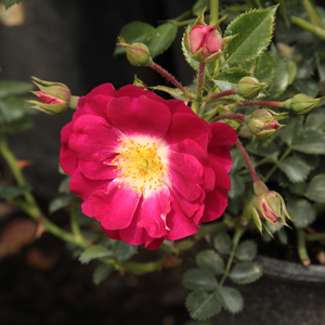 Lipstick® - pink - ground cover rose