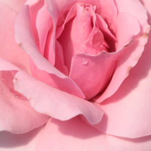 Roses Online Delivery - Pink - bed and borders rose - floribunda - no fragrance -  Regéc - Márk Gergely - -