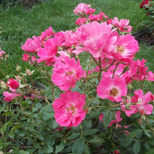 Light pink - bed and borders rose - polyantha