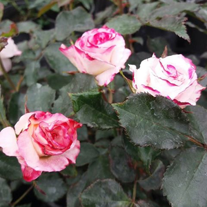 Whitish pink - bed and borders rose - floribunda
