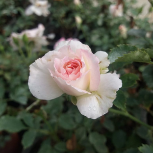 Maximum tallness is 19.6', short floribunda ideal for small gardens, for pots and flower-boxes.