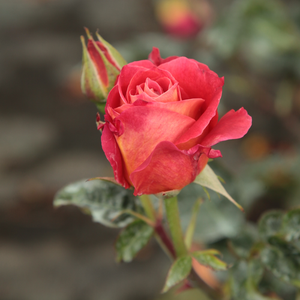 Alcazar - red - bed and borders rose - floribunda