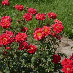 Orange-red - bed and borders rose - floribunda