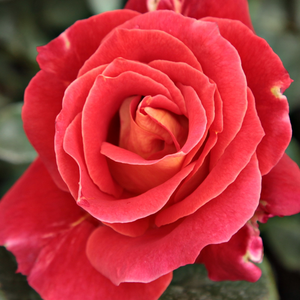 Rose Shopping Online - Red - bed and borders rose - floribunda - discrete fragrance - Alcazar - Jean-Marie Gaujard - Due to its bushy growing Alcazar looks well in flower beds combined with other plants.