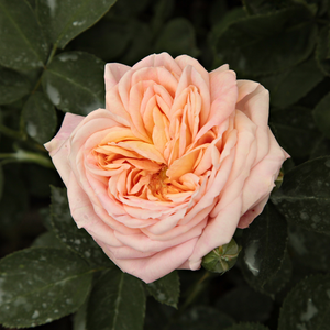 Rose Shopping Online - rambler, rose - yellow - Alchymist® - discrete fragrance - Reimer Kordes - Can be raised on a full shadowed wall.