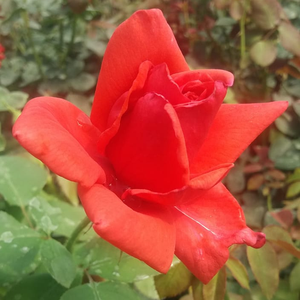 Red fades after flowering - hybrid Tea