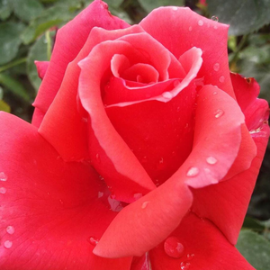 Rose Shopping Online - Red - hybrid Tea - no fragrance - Allégresse - Marcel Robichon - Red flowers slightly fade in the opening.