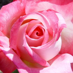 Buy Roses Online - White - Pink - hybrid Tea - intensive fragrance -  Altesse 75 - Marie-Louise (Louisette) Meilland - It has cupped flowers with middle intensive fragrance. Stamens can be seen in the open stetment of the blooming.