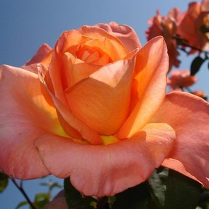 Orange-red golden mix - hybrid Tea