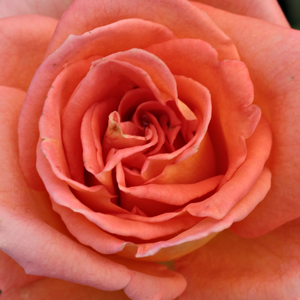Rose Shopping Online - Orange - hybrid Tea - no fragrance - Meinuzeten - Marie-Louise Paolino - The color of the flowers is orange, but they also have a golden tone.