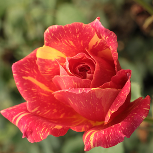 Ambossfunken - red-yellow - hybrid Tea