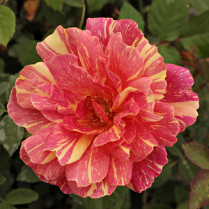 Corall-red yellow stripes - hybrid Tea