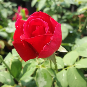 American Home - red - hybrid Tea