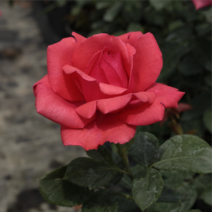 Amica - red - hybrid Tea