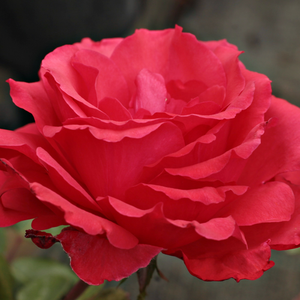 Bright red orange shade - hybrid Tea